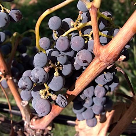 Xinomavro grapes