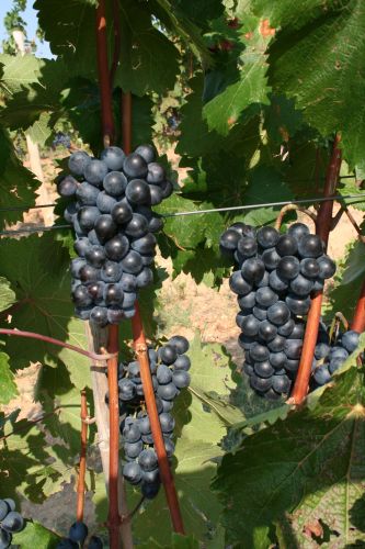 Koniaros grapes