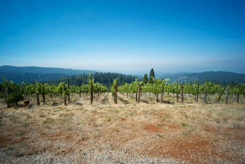 The Tryphon vineyard during early summer 2008.